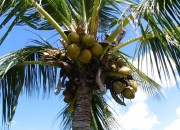 coconut-tree1
