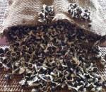 Moringa-Seeds-1000-150x130